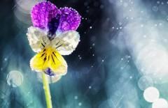 cvetok-kapli-anyutiny-glazki
