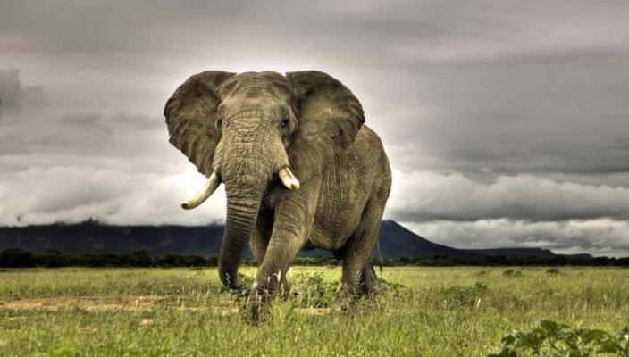 afrikanskiy_slon_twistedpaddy.com_